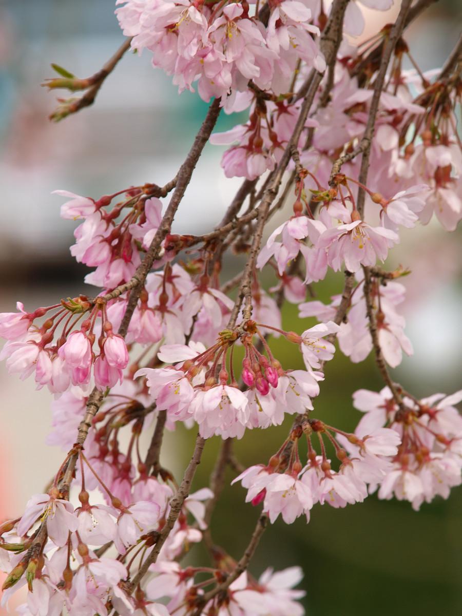 根来寺 桜 その9_c0187587_143475.jpg