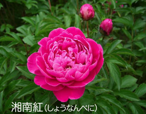 芍薬の摘花_f0162400_21272835.jpg