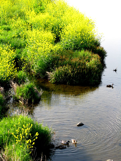 黄色に染まる鴨川_e0048413_20444668.jpg