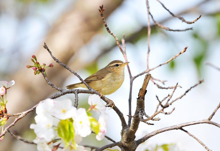 春爛漫~ムジセッカ_b0148352_95572.jpg
