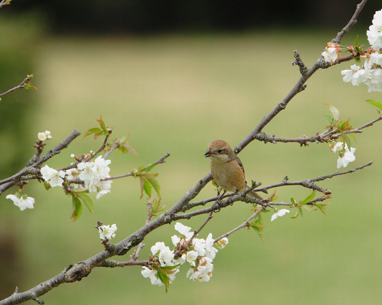 お花見で暫し休息するモズお母さん?(山桜と野鳥の綺麗な壁紙)_f0105570_9292450.jpg
