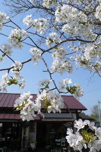 IVORY桜 お花見Lesson 一日目_b0094378_1722869.jpg