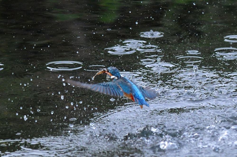 ママセミ臨月、パパセミ餌捕り/新幹線カワセミ_b0024798_4413177.jpg