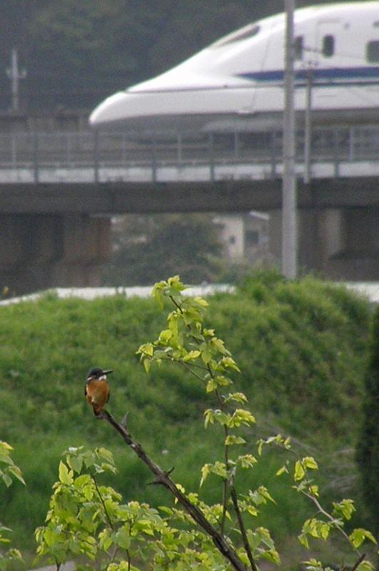 ママセミ臨月、パパセミ餌捕り/新幹線カワセミ_b0024798_4444122.jpg