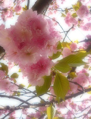 代官山の桜 と 素晴らしい恵みの日☆。。。* *。:☆.。† _a0053662_1644579.jpg