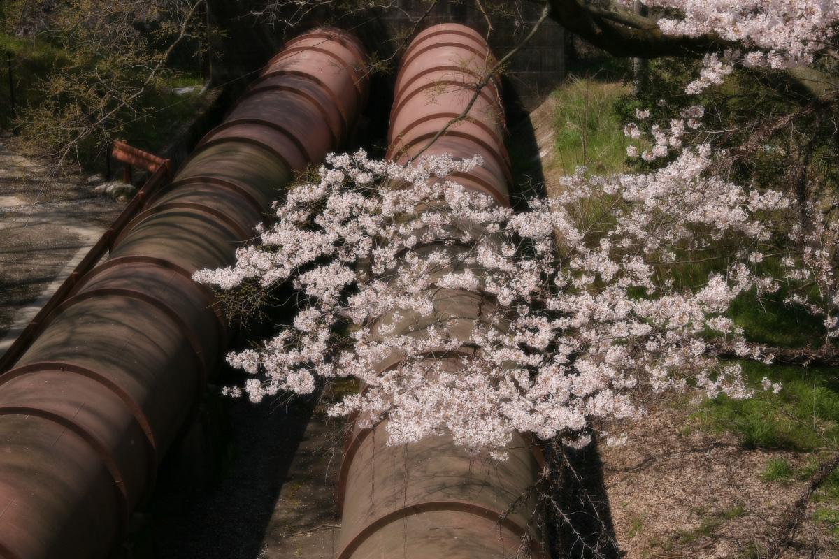 琵琶湖疏水~南禅寺 桜_f0021869_21151741.jpg