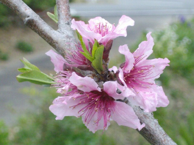 桃の白鳳の開花記録記事_f0018078_6542951.jpg