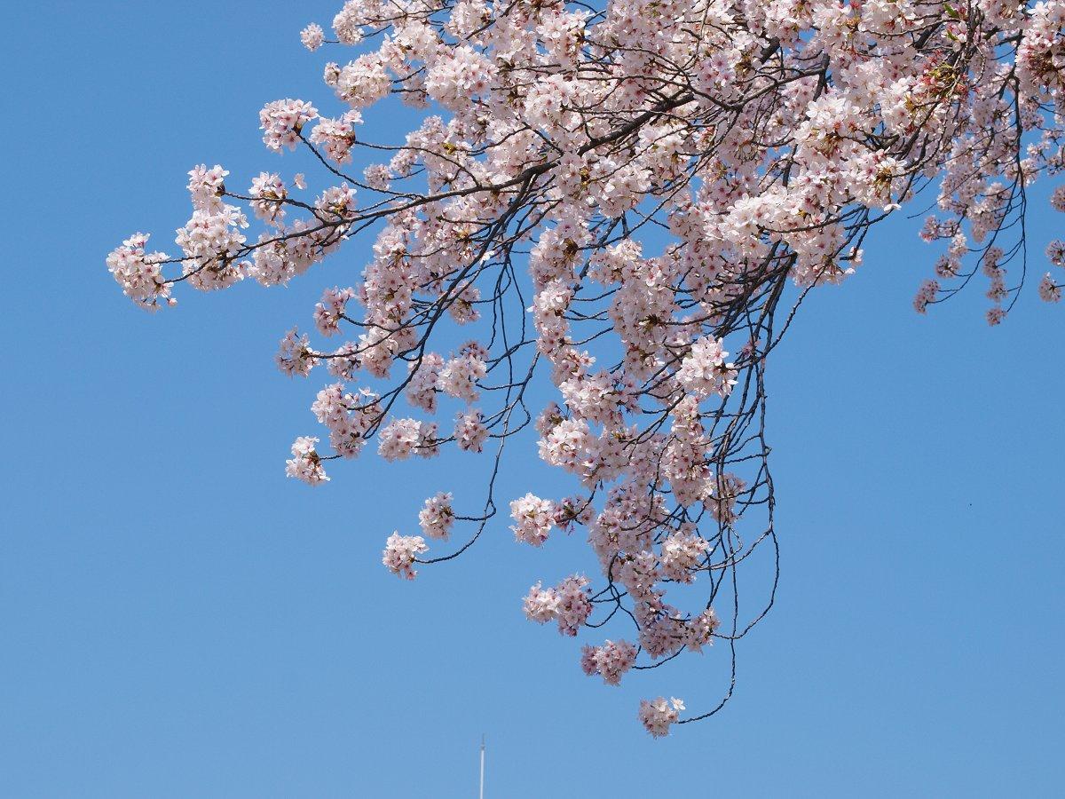 休日出勤前の桜_c0187587_12422399.jpg