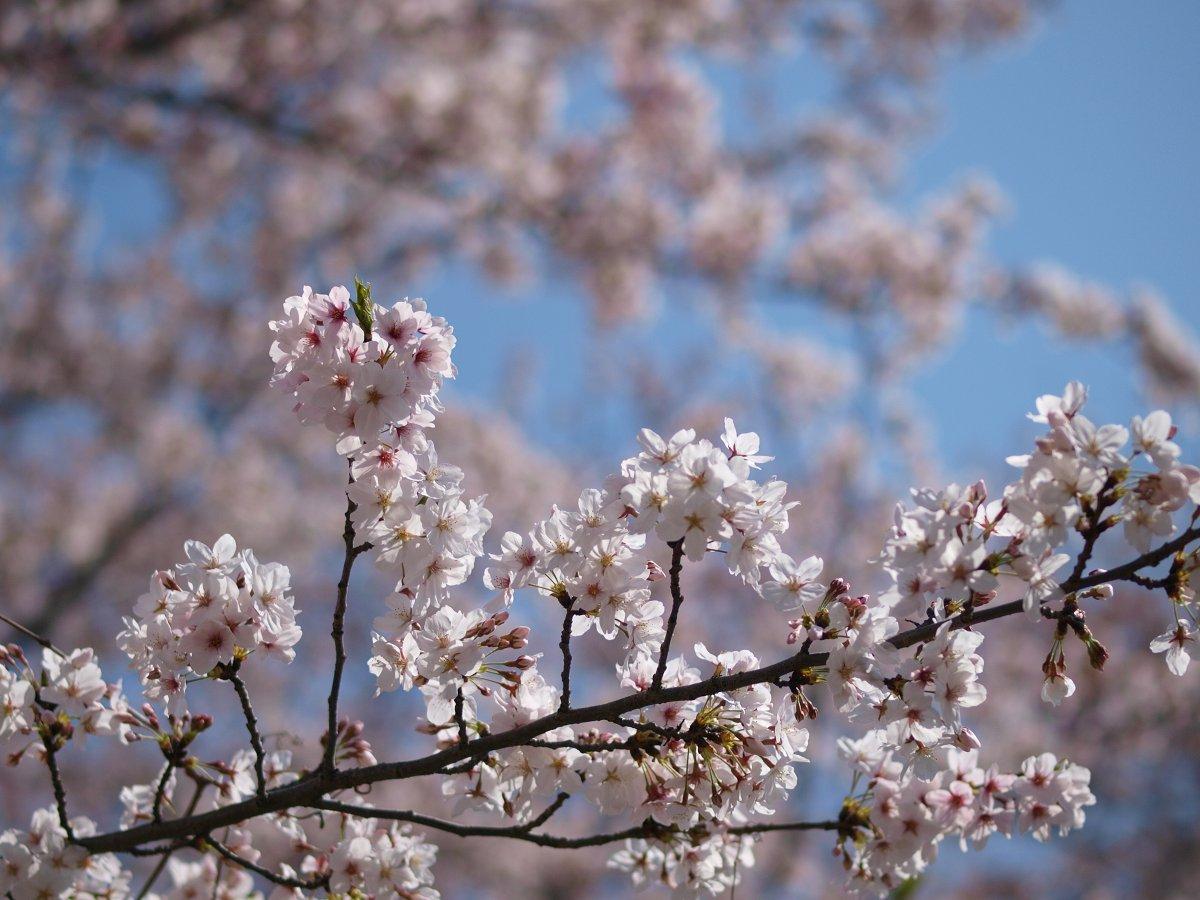 休日出勤前の桜_c0187587_12441759.jpg