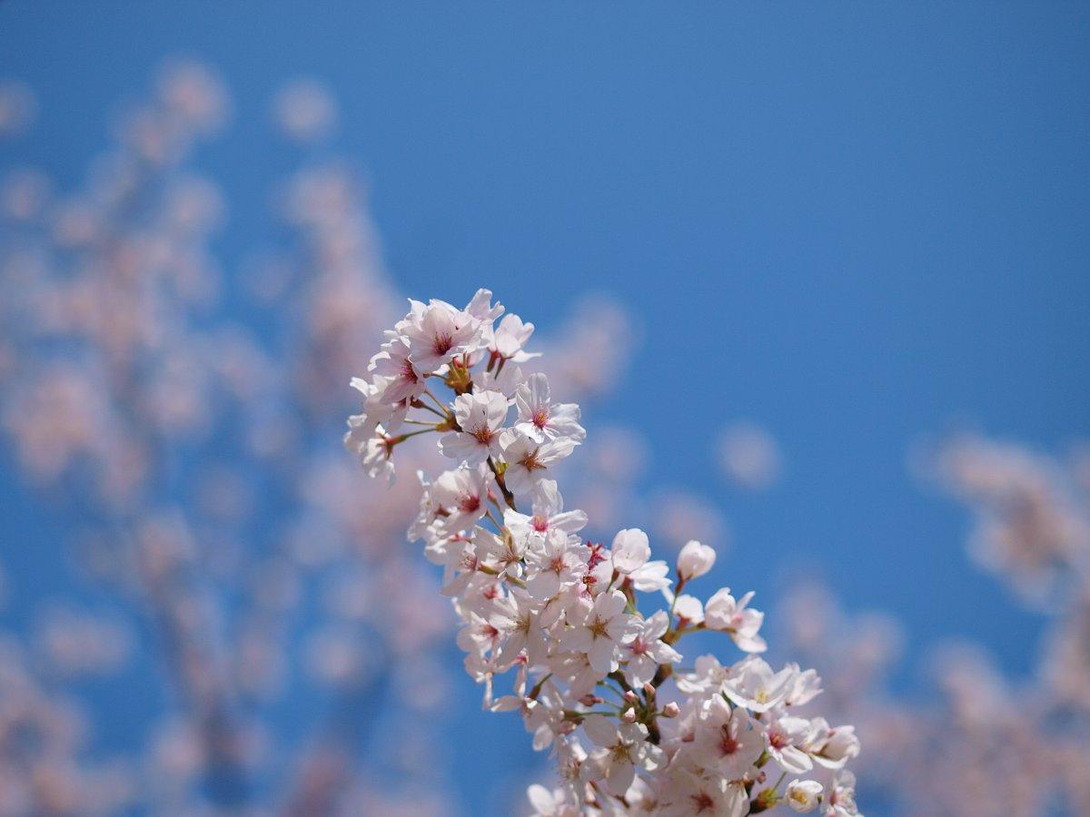 休日出勤前の桜_c0187587_1246946.jpg