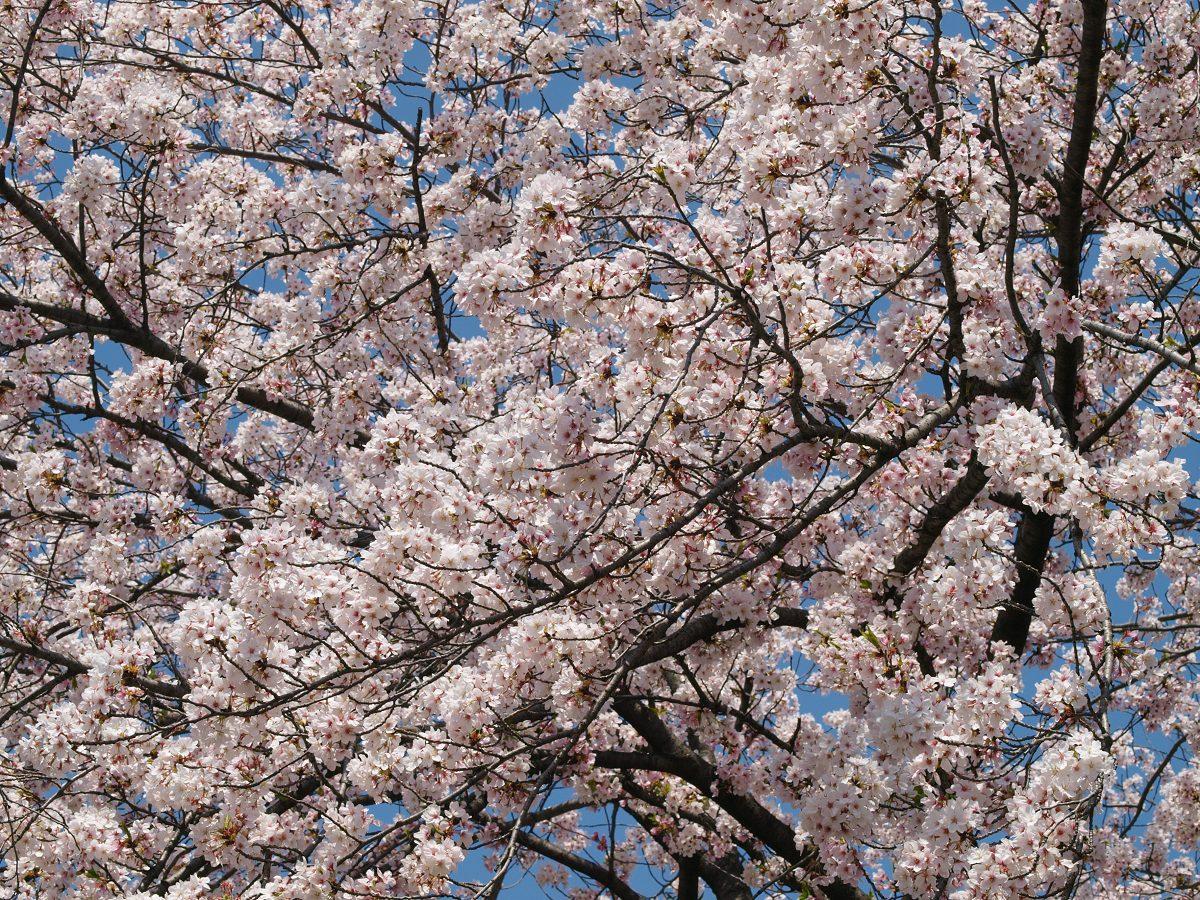 休日出勤前の桜_c0187587_12473881.jpg