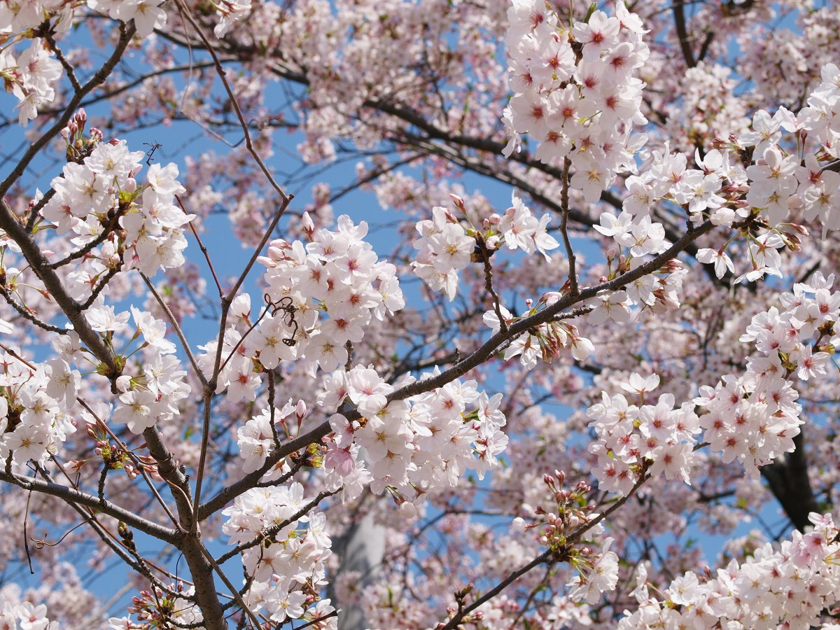 休日出勤前の桜_c0187587_1247580.jpg