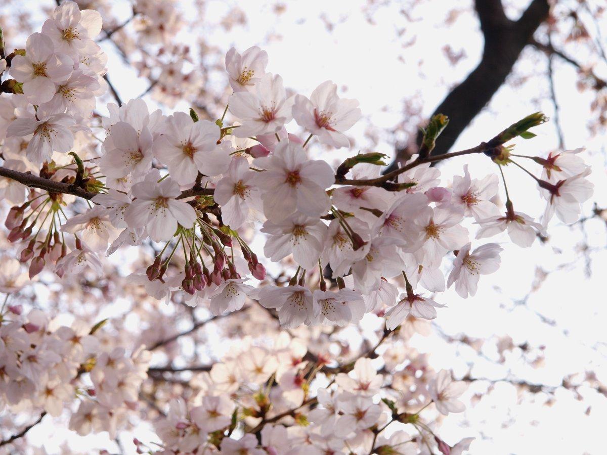 出勤前の桜_c0187587_8192725.jpg