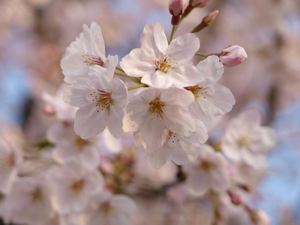 出勤前の桜_c0187587_8201821.jpg