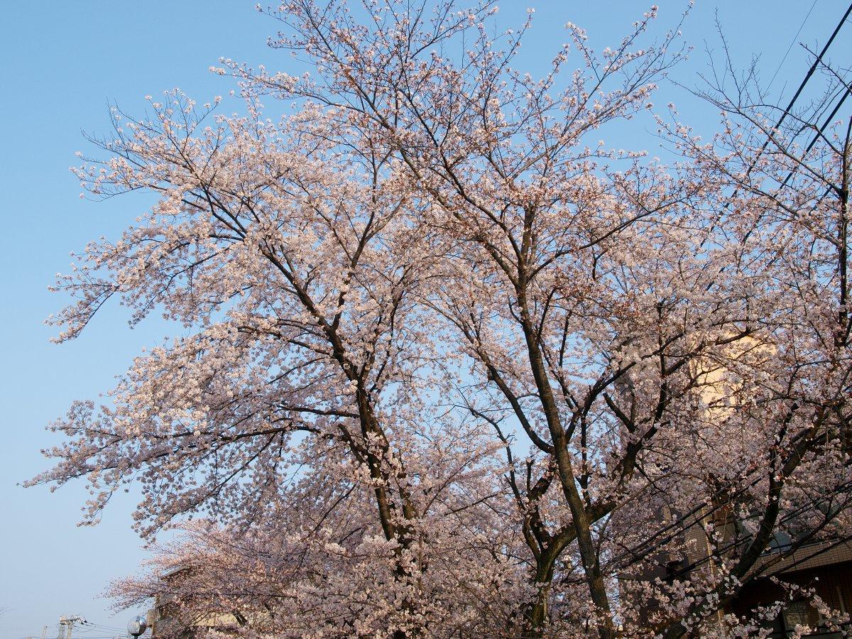 出勤前の桜_c0187587_821172.jpg