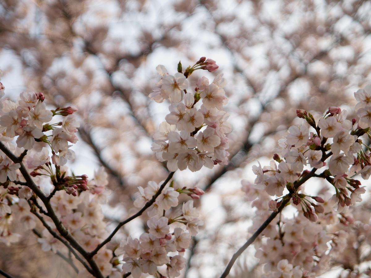 出勤前の桜_c0187587_8415039.jpg