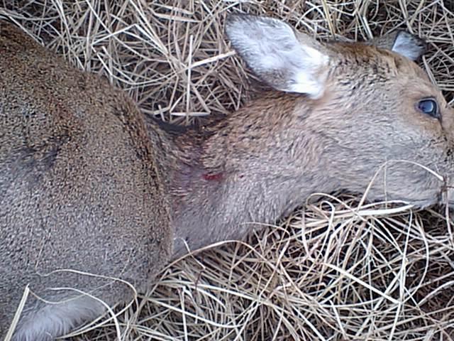 日本鹿のクリーンキルを目指して  その1_e0056797_1818440.jpg
