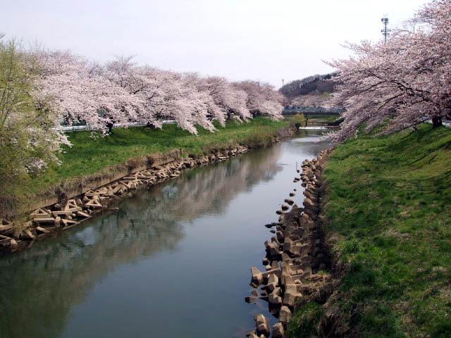 4月20日 太平川の桜並木_f0019498_1748493.jpg