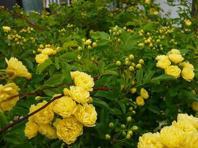 【黄色】モッコウバラ、満開_c0035843_125531100.jpg