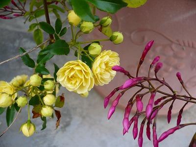 【黄色】モッコウバラ、満開_c0035843_1259896.jpg