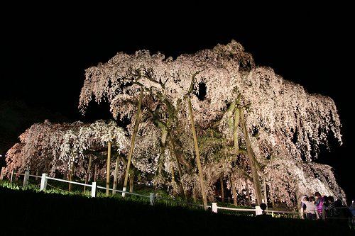 滝桜、王者の風格_f0048546_684745.jpg