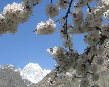 杏の花、開花ピークです 2009_d0106555_12464057.jpg