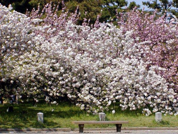 八重桜_c0057390_22161663.jpg