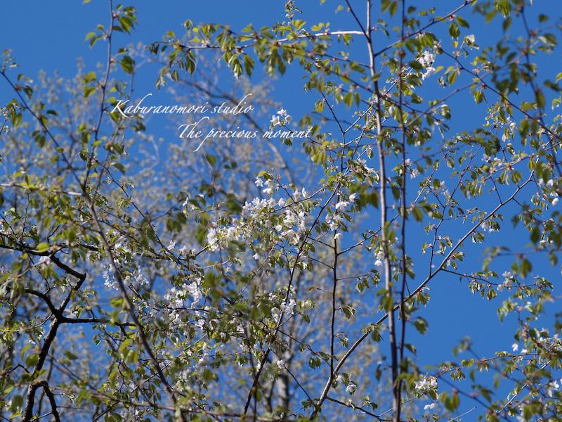 09/4/22      新緑の森と山桜_c0137403_18432179.jpg
