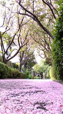桜のじゅうたん♪_b0032617_1634532.jpg
