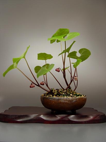 フタバアオイの盆栽仕立て_c0047422_1655764.jpg