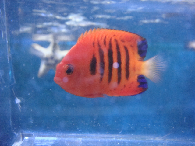 海水魚・サンゴ・水草・日本産淡水魚_f0189122_14264970.jpg