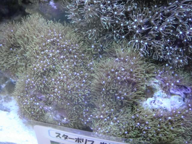 海水魚・サンゴ・水草・日本産淡水魚_f0189122_14354684.jpg