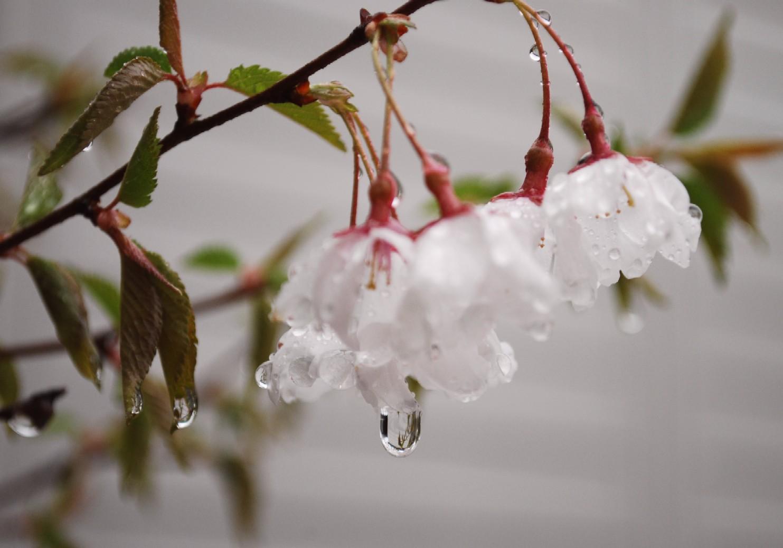 桜濡らす温かい雨の一日_c0181457_1345123.jpg