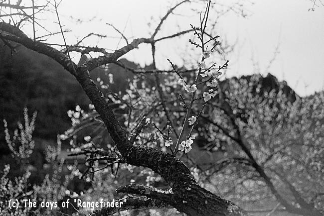 月ヶ瀬渓谷の梅 2_f0139991_21491134.jpg