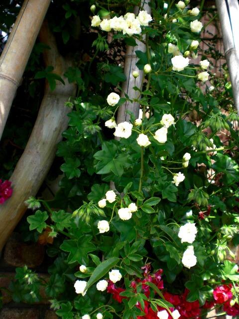 白のモッコウバラも咲きました^^_f0208806_22174136.jpg