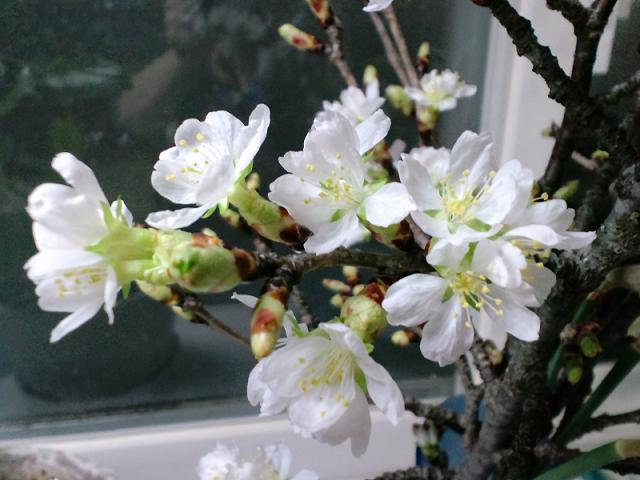 生きていた桜の枝_e0012815_23323727.jpg