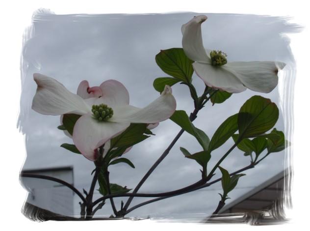 庭木の花々_c0026824_16264077.jpg