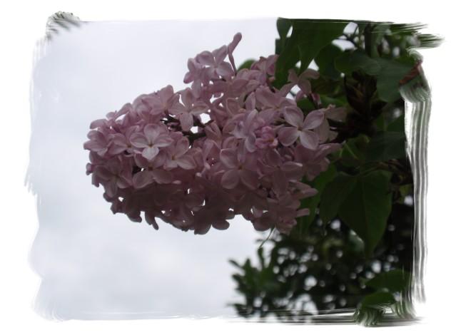 庭木の花々_c0026824_16271418.jpg