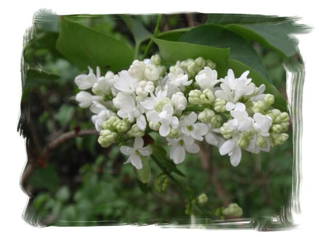 庭木の花々_c0026824_16273668.jpg