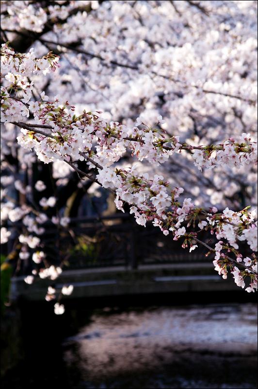 2009關西春櫻速報Vol18.~京都篇~高瀨川畔_c0073742_1233023.jpg