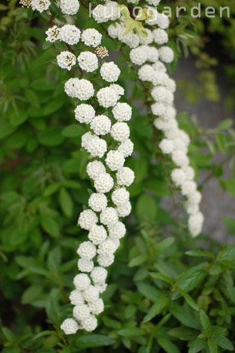 白花のアプローチ_e0119151_18205767.jpg