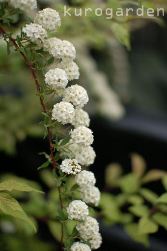 白花のアプローチ_e0119151_18211931.jpg