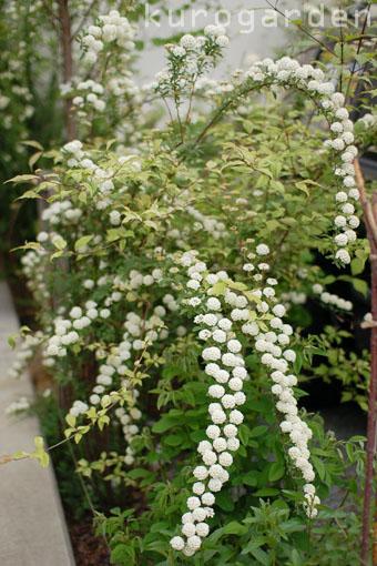 白花のアプローチ_e0119151_18212894.jpg