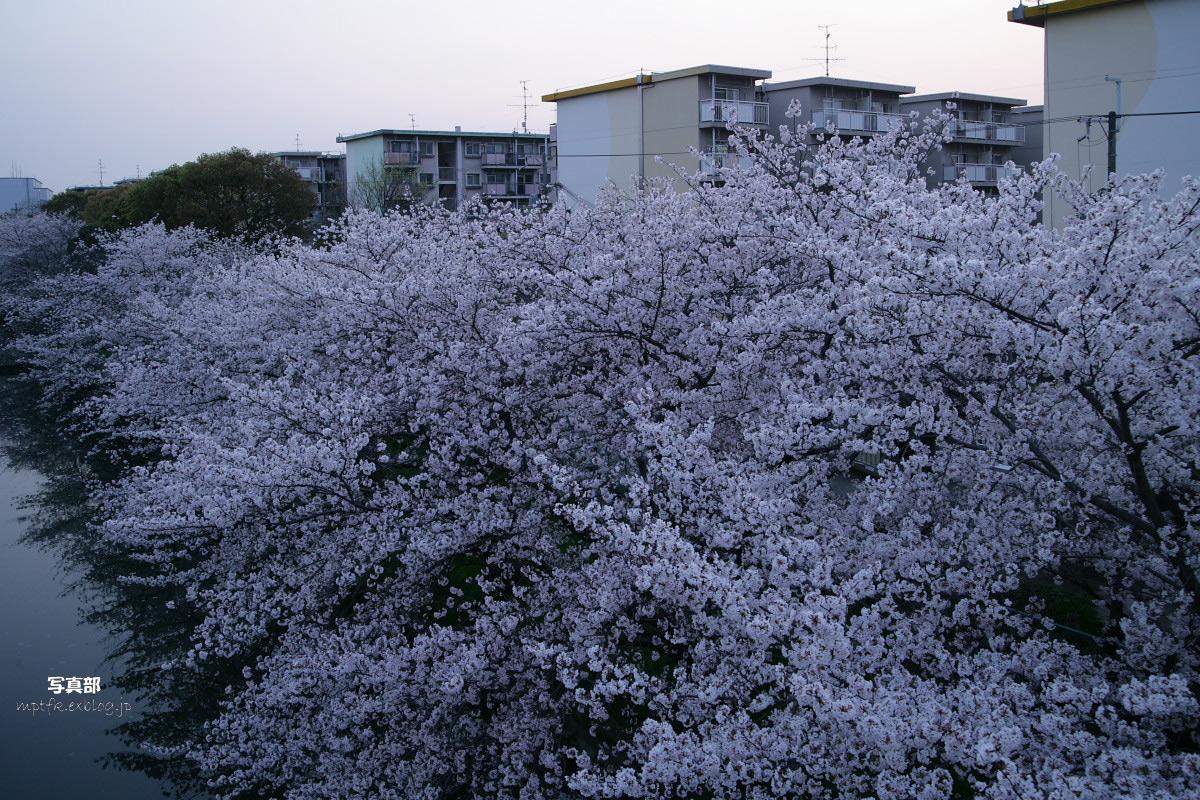ご近所桜 満開のころ_f0021869_22452422.jpg