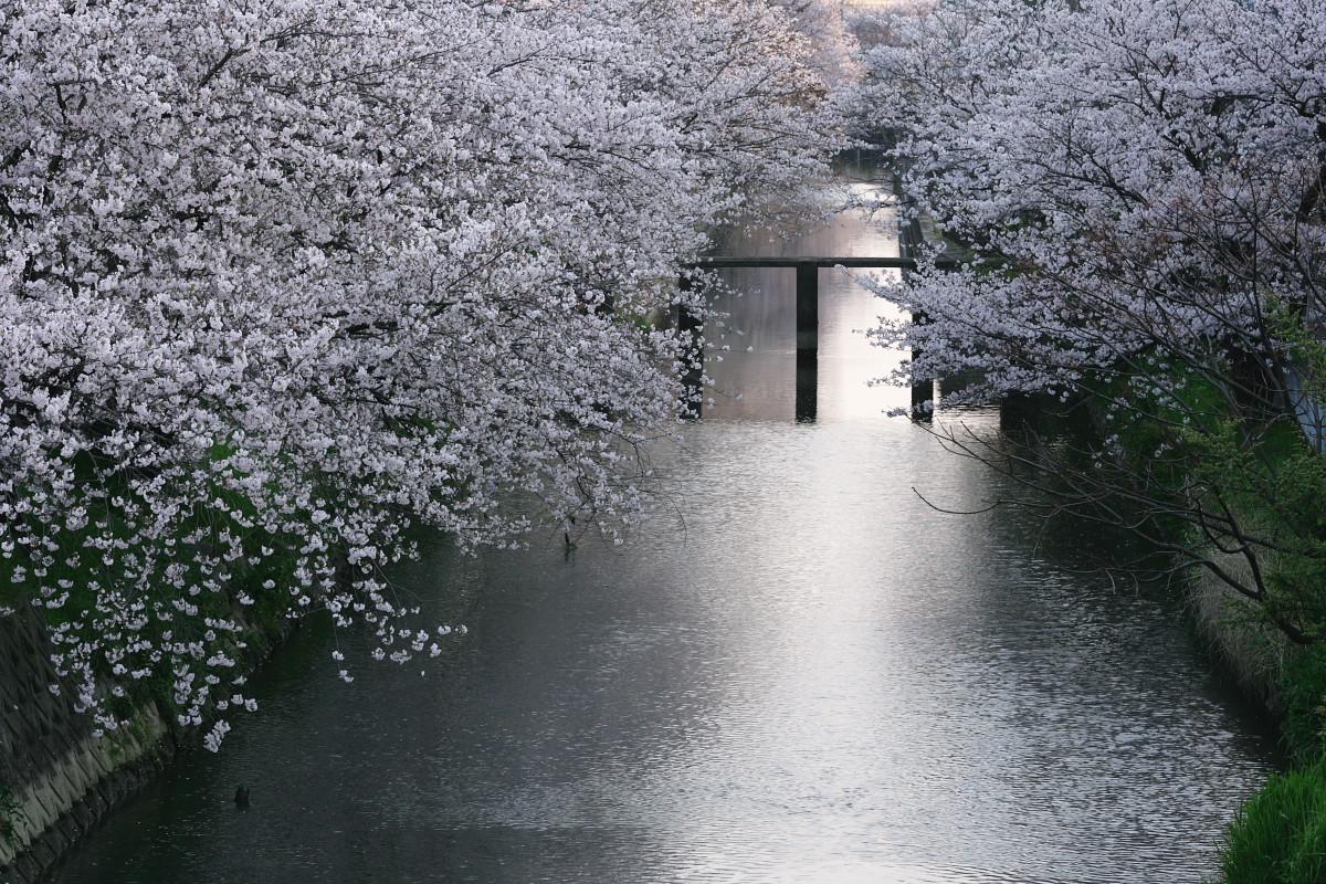 ご近所桜 満開のころ_f0021869_22463293.jpg