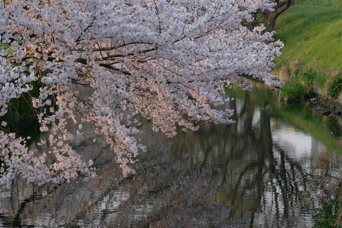 ご近所桜 満開のころ_f0021869_2247864.jpg