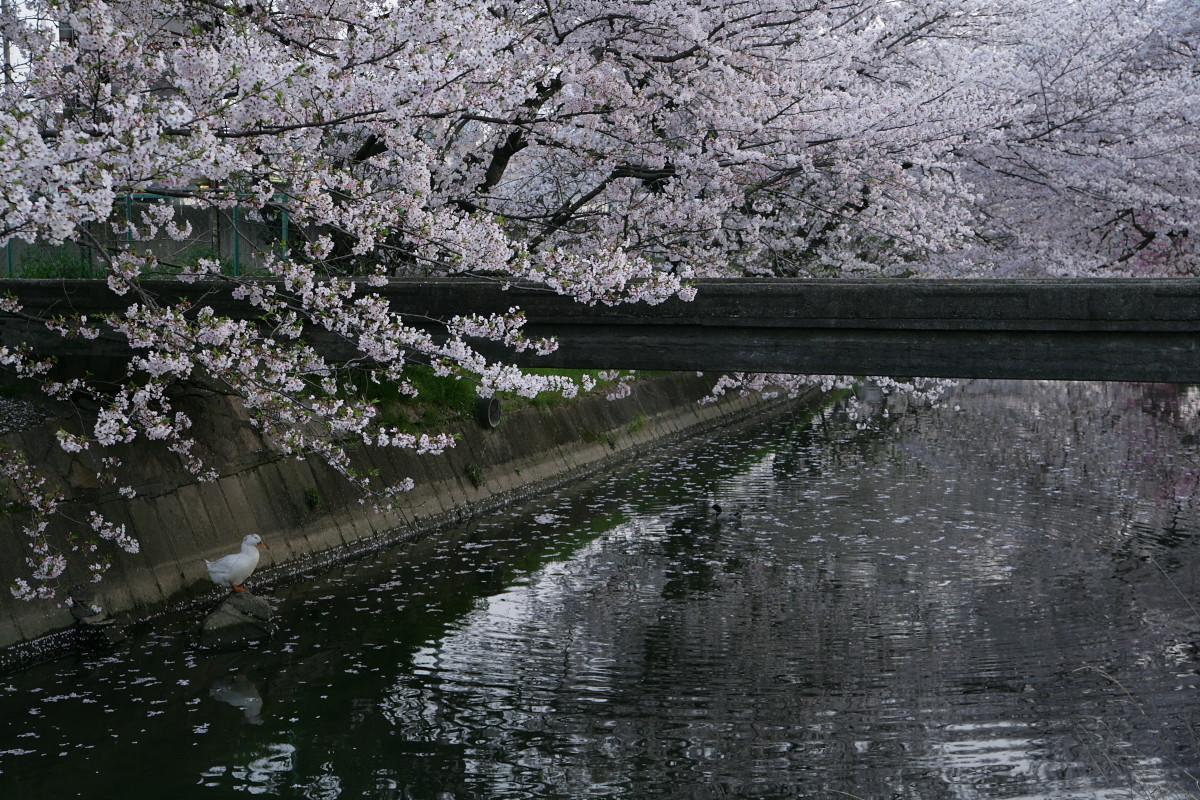 ご近所桜 満開のころ_f0021869_224901.jpg