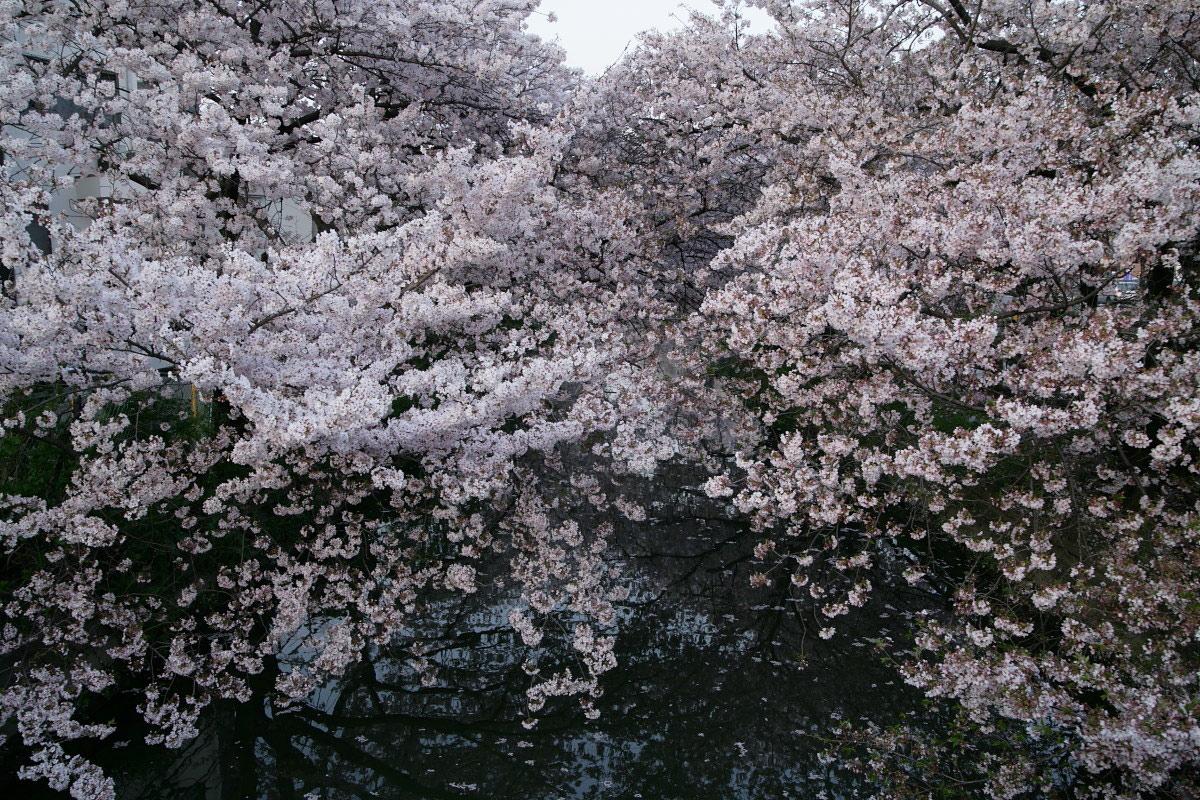 ご近所桜 満開のころ_f0021869_22514426.jpg