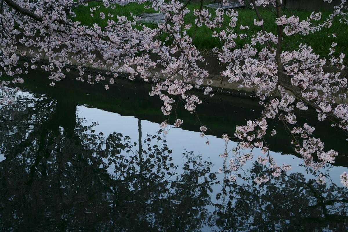 ご近所桜 満開のころ_f0021869_22522311.jpg