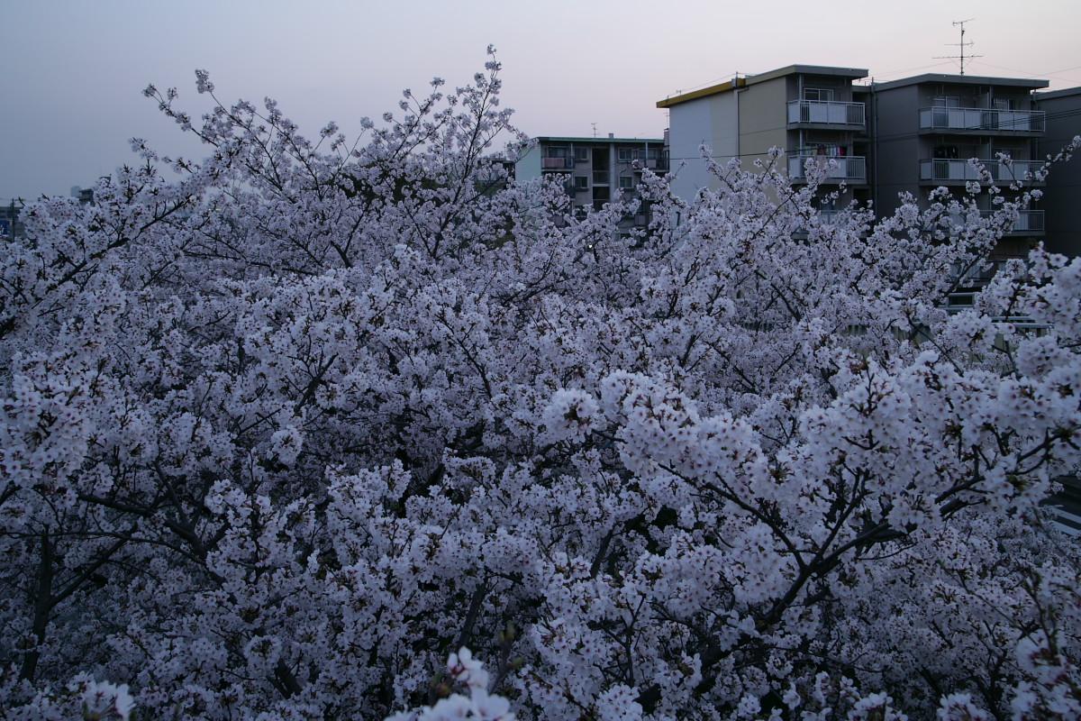 ご近所桜 満開のころ_f0021869_22525869.jpg